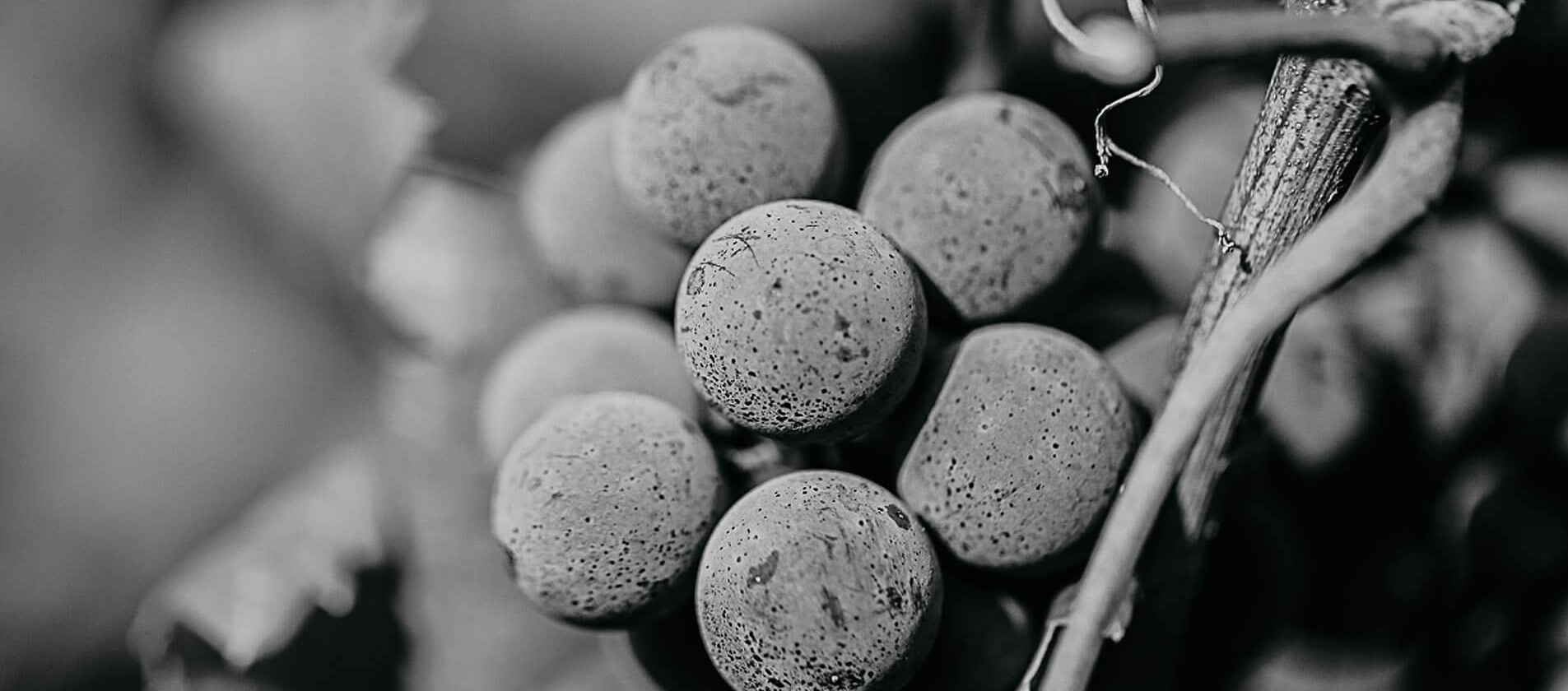 uve da vino pescaja